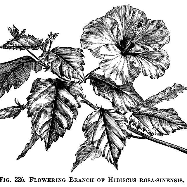 Hibiscus Rosa Sinensis Floral Clip Art Hibiscus Flower Drawing Hibiscus Clip Art Hibiscus Drawing
