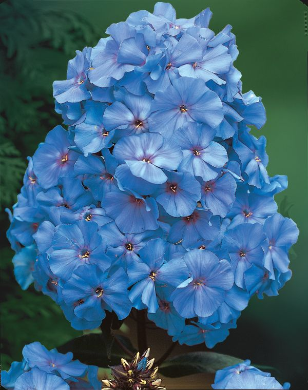Blue Boy Phlox You Ll Treasure The Rich Bluish Blooms And