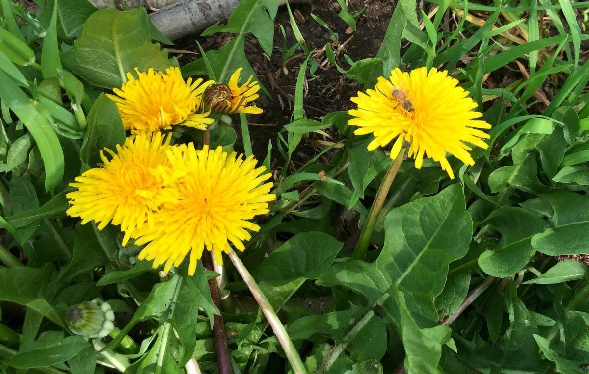 Dandelion Foraging Identification Look Alikes And Uses Dandelion Root Medicinal Weeds Dandelion Leaves