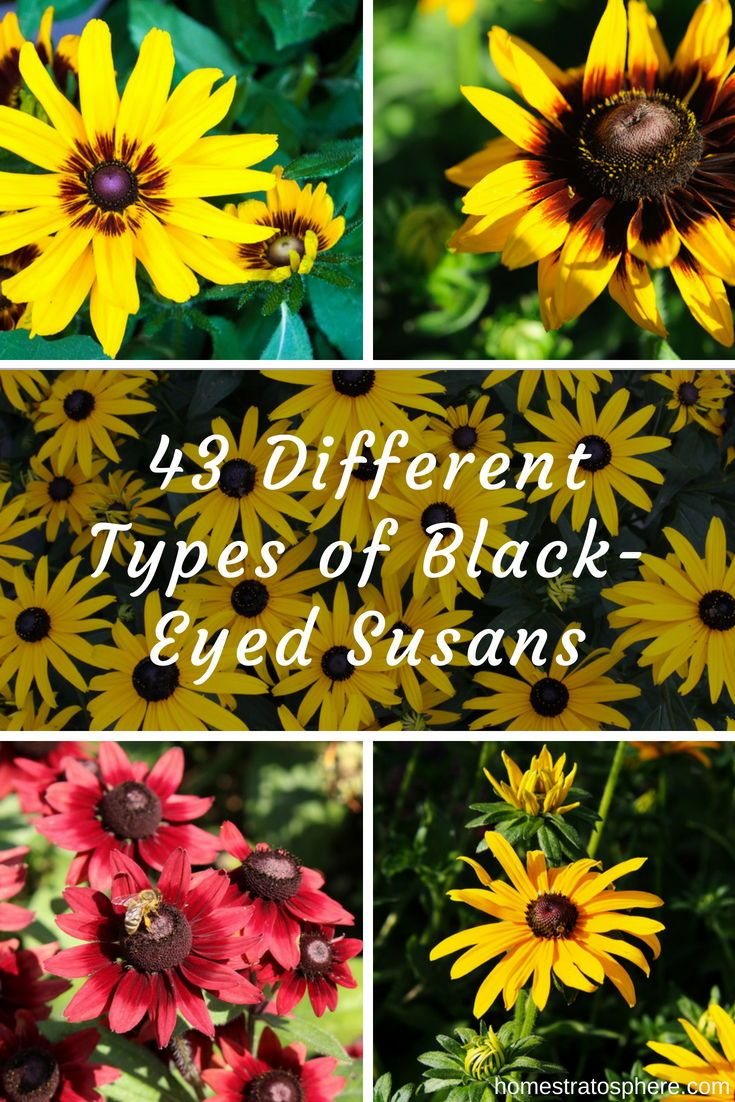 43 different types of black eyed susans black eyed susan black 43 different types of black eyed susans black eyed susan black eyed and flowers garden izmirmasajfo