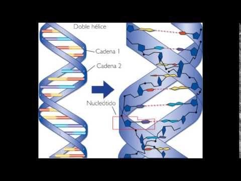 ácidos Nucleicos Descripción De La Estructura Química