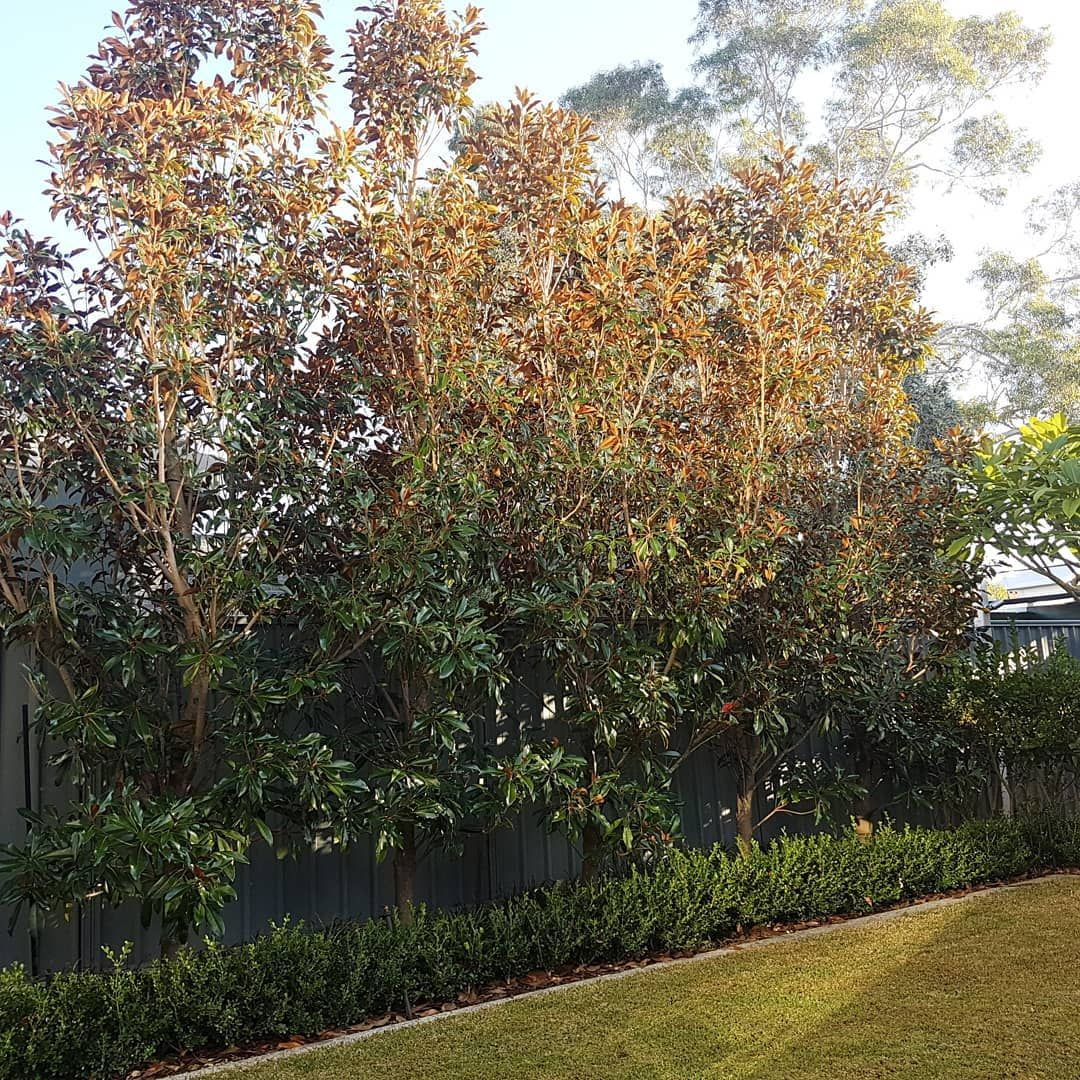 Kokatu Design Gardens On Instagram Magnolia Kay Parris Is Just Over 4 Metres High And Hopefully This Is It Acting As In 2020 Garden Design Hedges Magnolia