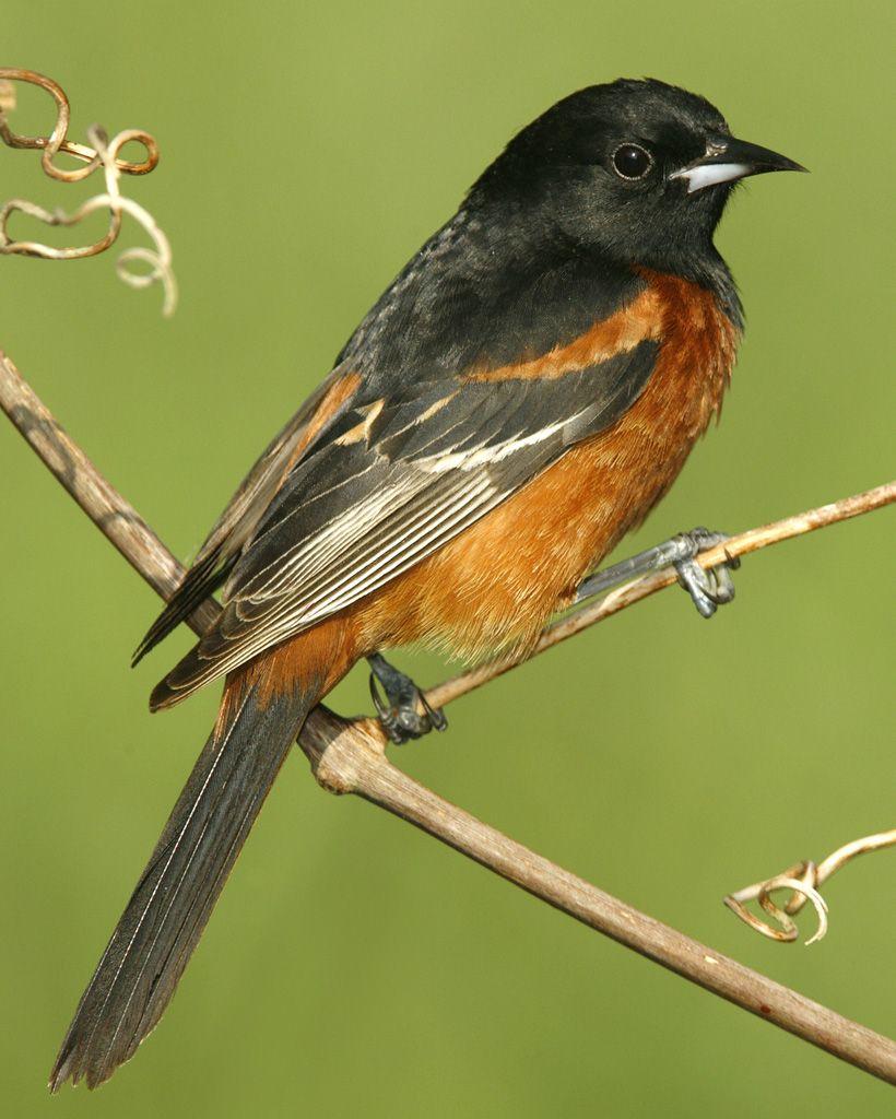 Orchard Oriole | Pennsylvania Birdwatching | Birds, Backyard