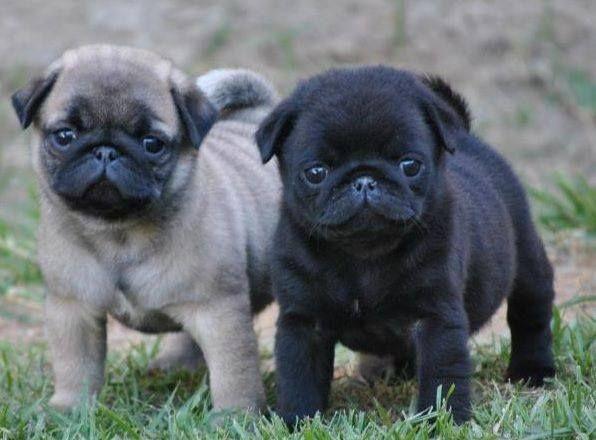 Dramatic Pug Pug Puppies Pugs Cute Pugs