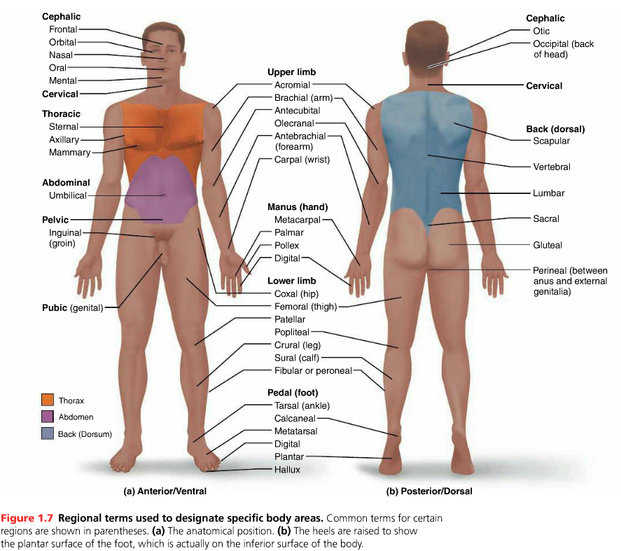 Body Regional Terms | Anatomy & Physiology | Pinterest