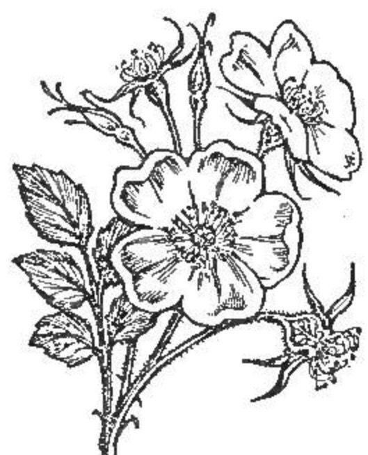 Mayflower- state flower of MA | Dandelions pompom | Pinterest