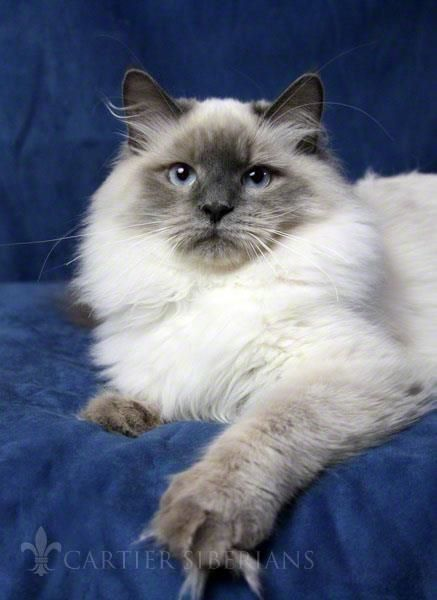 Cartier Moscow Siberian Cat Cat With Blue Eyes Siamese Cats Blue Point
