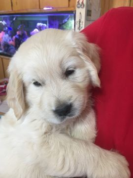 Golden Retriever Puppy For Sale In Scottsdale Az Adn 46391 On