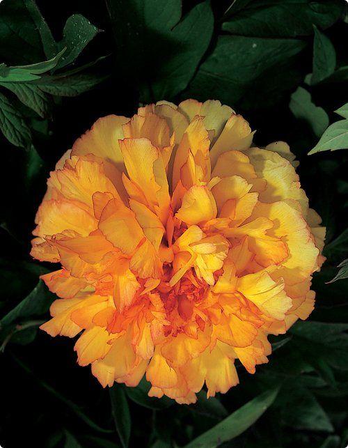 Tree Peony Kinkaku Full Double Orange Petals Tinged With Carmine Blooms May June Zones 3 9 Peonies For Sale Peonies