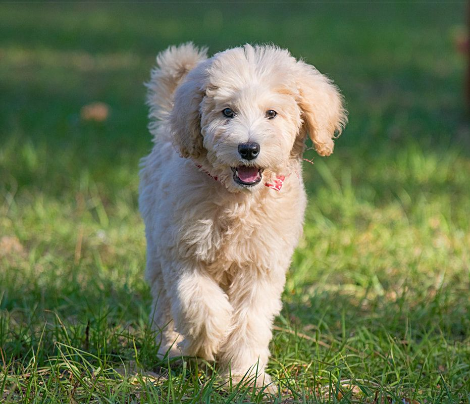 Doodles Sanctuary breeder of Labradoodles, Goldendoodles