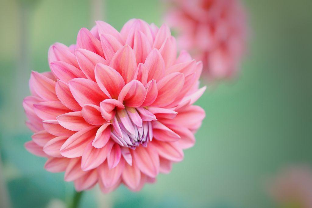 Dahlia Dahlstar Sunset Pink Dahlia Flower Flowers Peony Flower Meaning