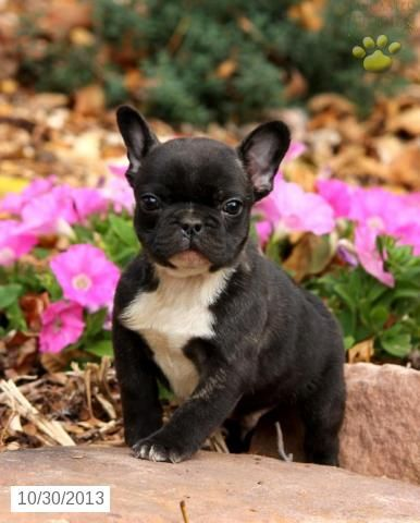 French Bulldog Puppies For Sale Lancaster Puppies French Bulldog Puppies Bulldog Puppies Puppies