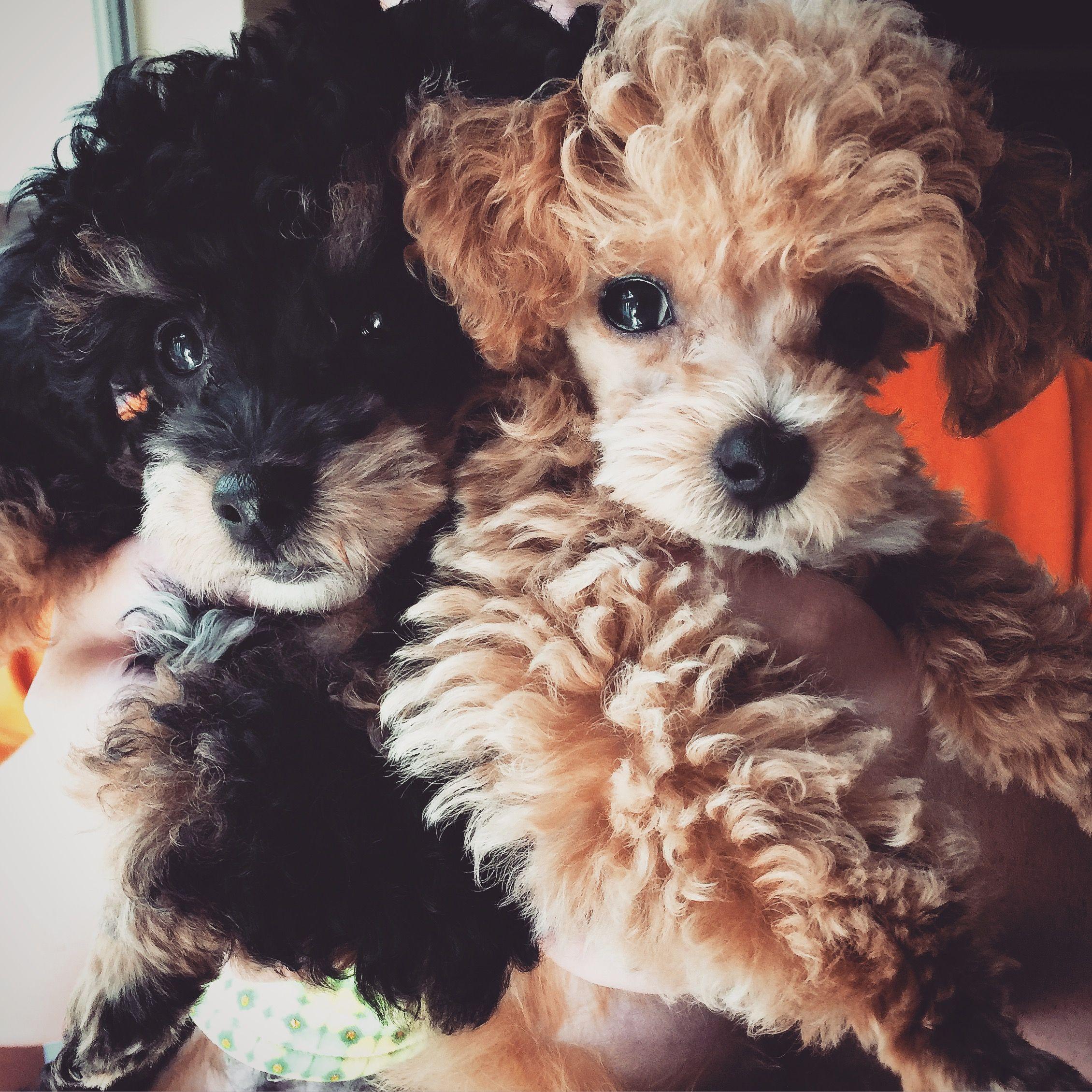 Teacup Poodles Poodle