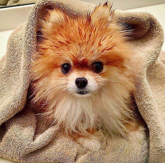 Bath Time Pomeranian Puppy Pom Dog Cute Pomeranian