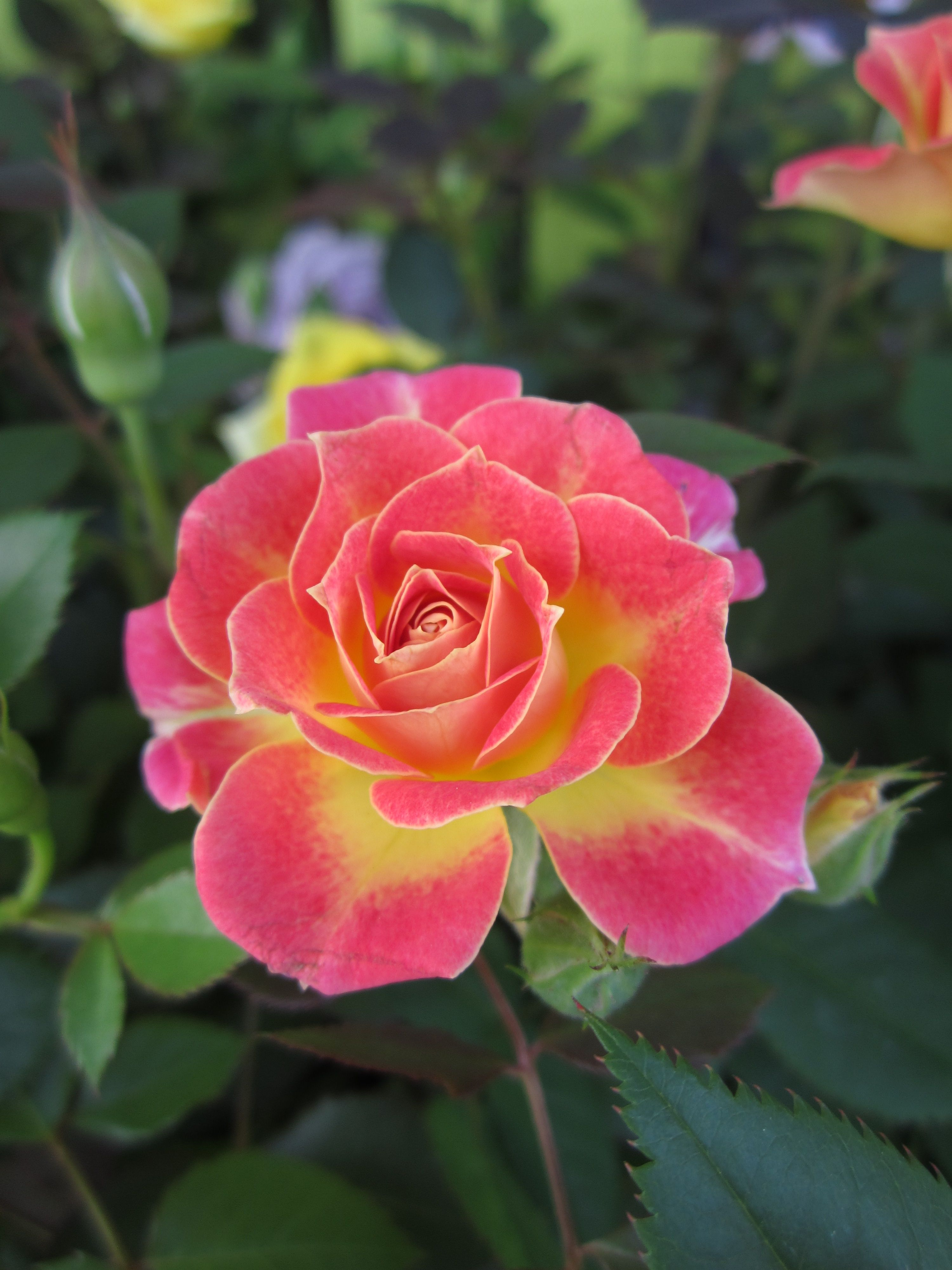Mini Roses Enjoy The Beauty Of Miniature Roses All Summer Long