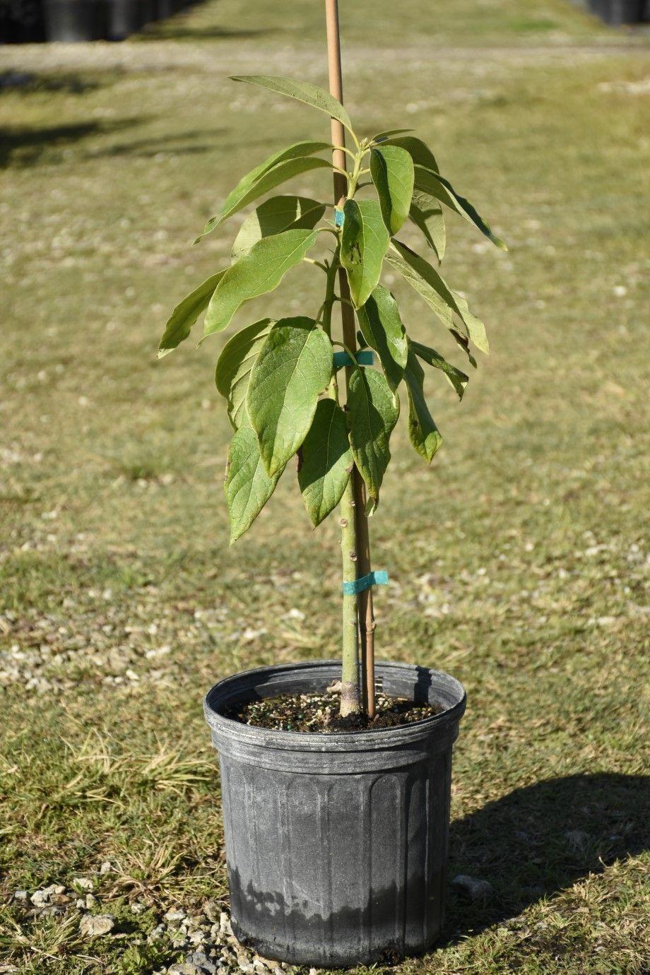 Choquette Avocado Trees to plant, Growing tree, Fruit trees