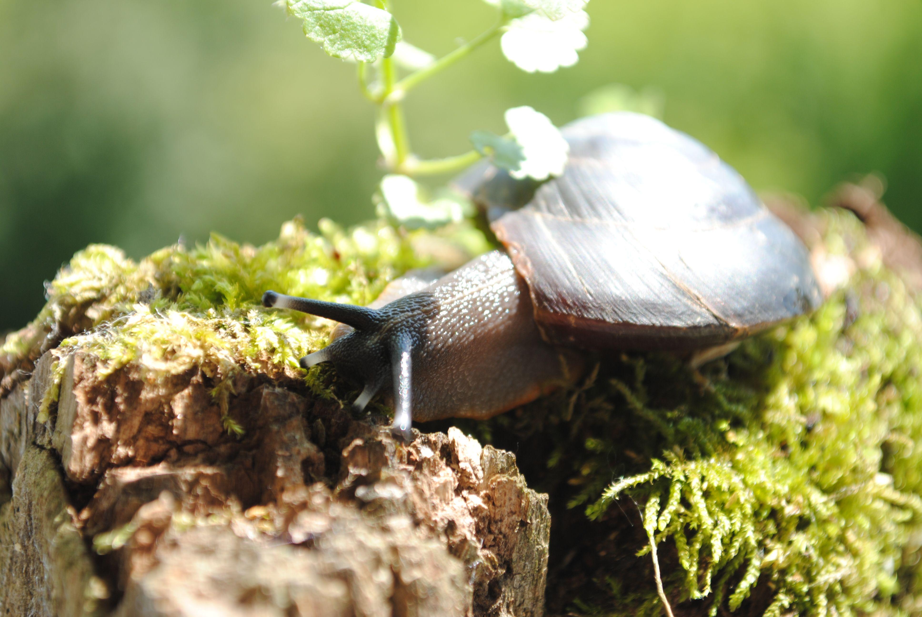 The Caracolus Snail