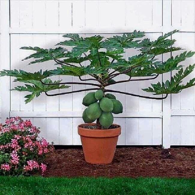 papaya en maceta | hortalizas y frutales | pinterest | gardens