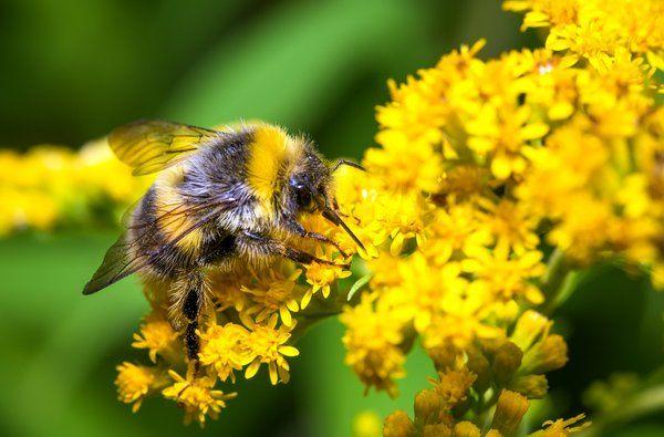 """Bumblebee """"Bombus pascuorum"""""""