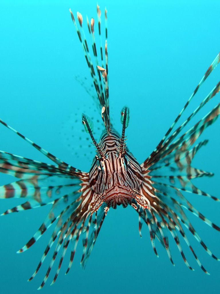 Red Lion Fish Desktop Nexus Wallpapers Lion Fish Animals Ocean Creatures