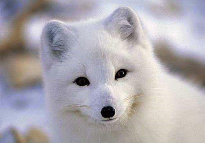 bioorbis raposa do Ártico branca como a neve fox pinterest