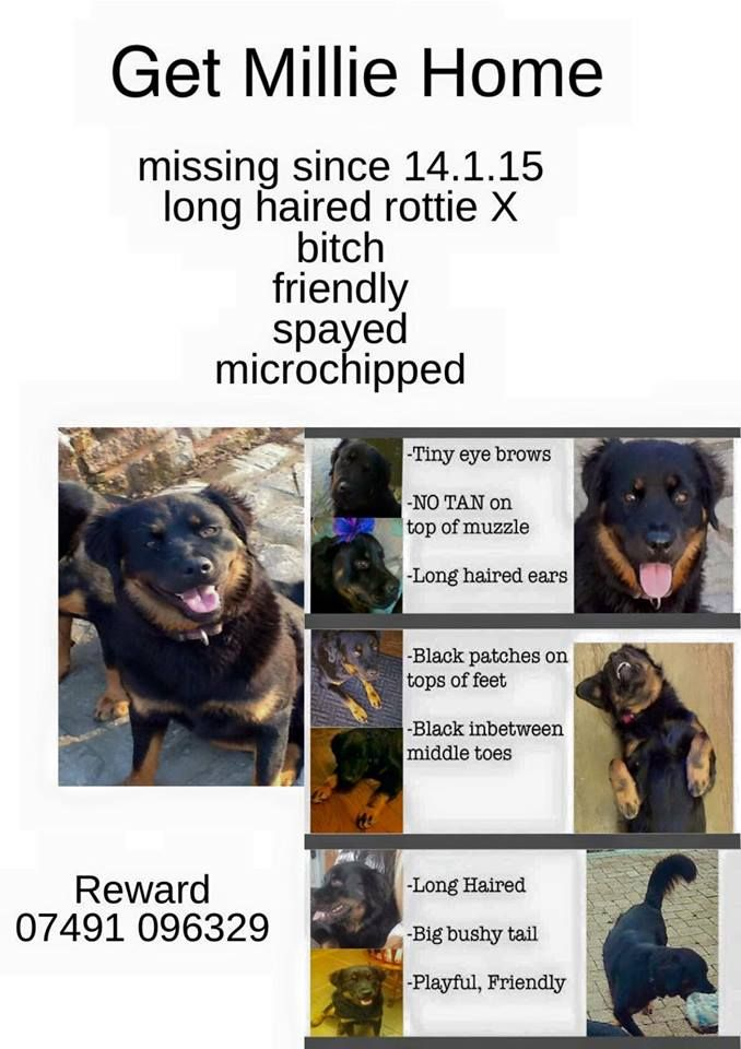 Millie Is Still Missing From Whiston Rotherham Millie Rotherham Long Haired Rottweiler