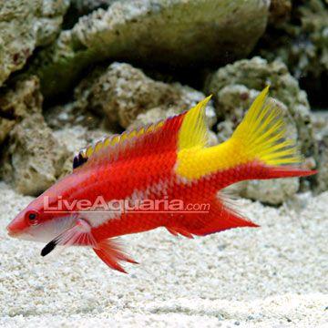 Liveaquaria Hogfish Aquarium Fish Fish