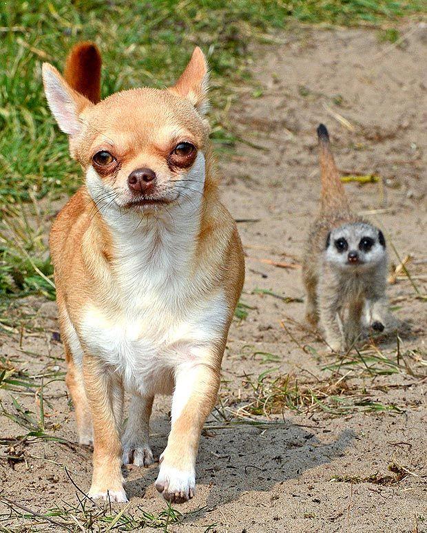 ABANDONED Baby Meerkat Wilson Cosies Up To His New Mum