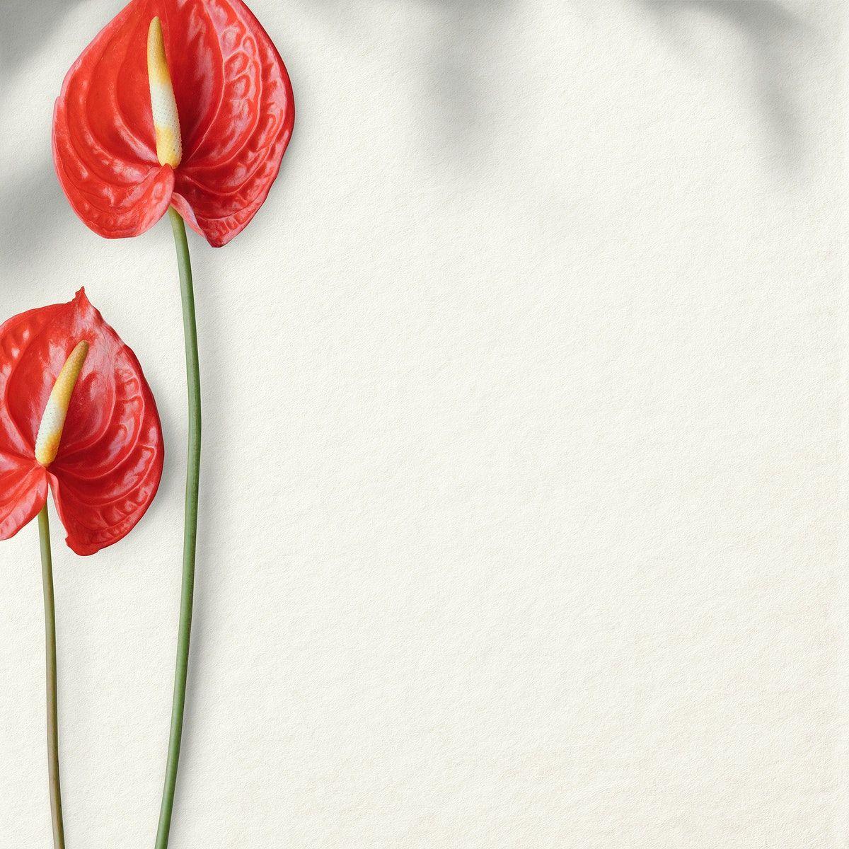 Download Premium Psd Of Flamingo Flower On A White Background Design In 2020 Flamingo Flower Background Design Anthurium Flower