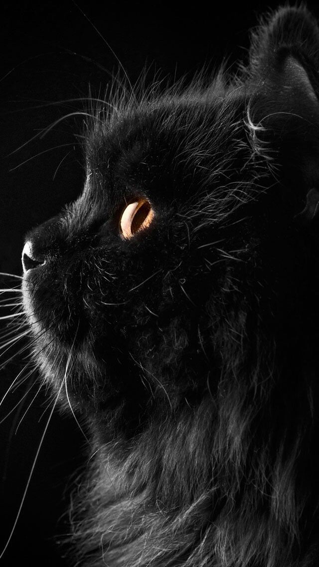 Black Cat Animal Wallpaper For Iphone And Android Wallza