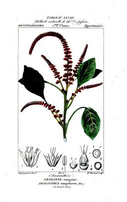 Painting of amaranth from Flore médicale, by F.P. Chaumeton, Chamberet et Poiret, illustrated by E.M., illlustrated by E. Panckoucke and P.J.F. Turpin, published by C.L.F. Panckoucke (Paris), 1820 (on Google Books, original from Lyon Public Library)