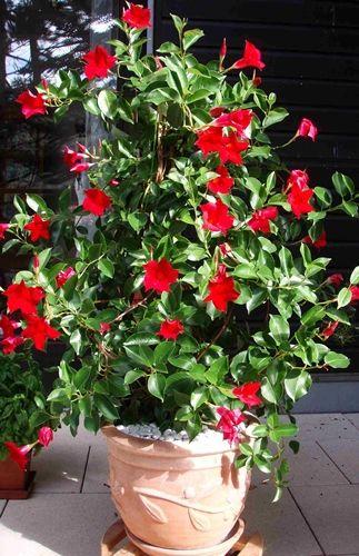 Mandevilla Dipladenia Sanderi Container Gardening Vegetables Container Plants Container Gardening
