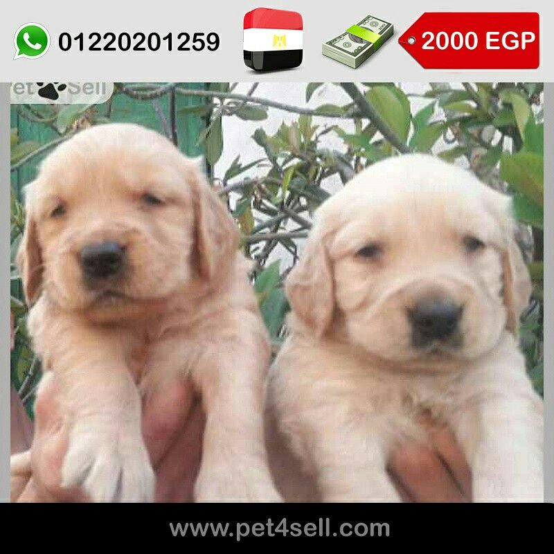Egypt Cairo Pure Golden Retriever Puppies For Sale 30 Days Males And Females Available Dark And Golden Colors Golden Retriever Retriever Puppy Puppies