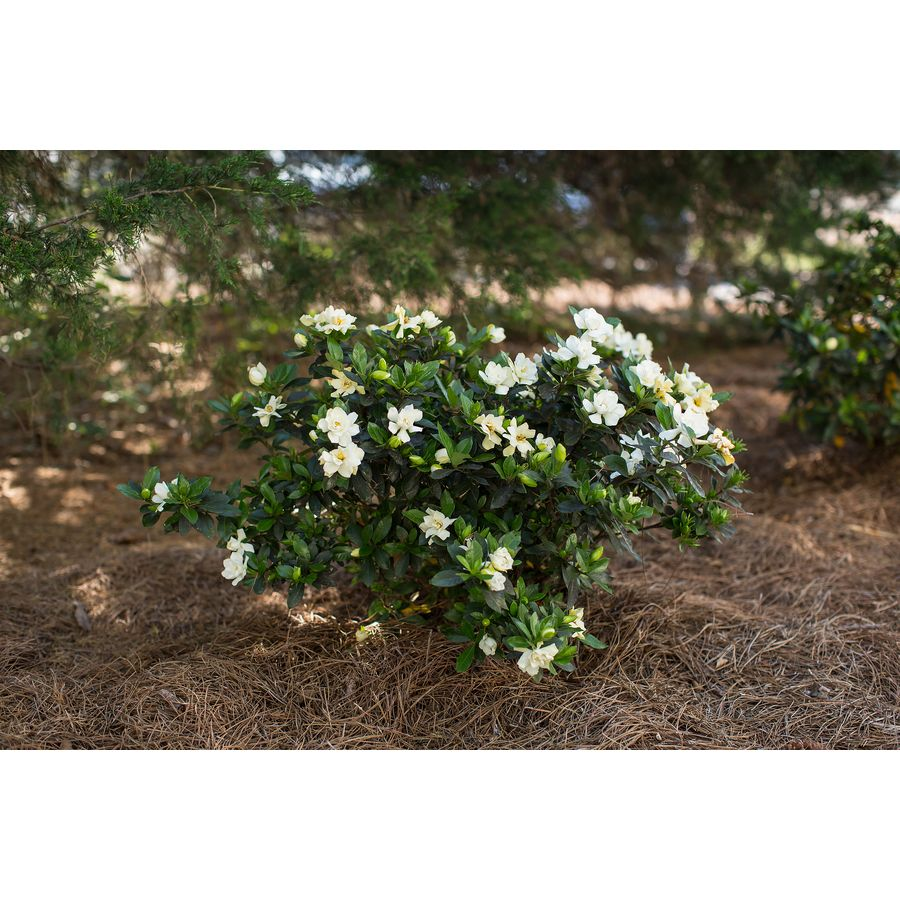 3 Gallon White First Editions Sweet Tea Gardenia Flowering Shrub
