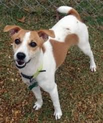 Image Result For Smooth Fox Terrier Mix Jack Russell Dog