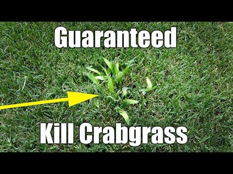 Safely Kill Crabgrass In Bermuda Lawn Youtube Crab Grass