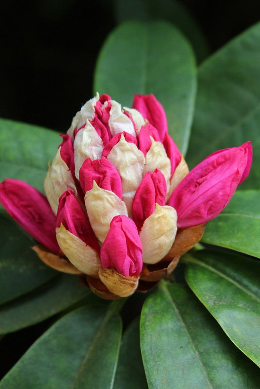 Rhododendron in bud