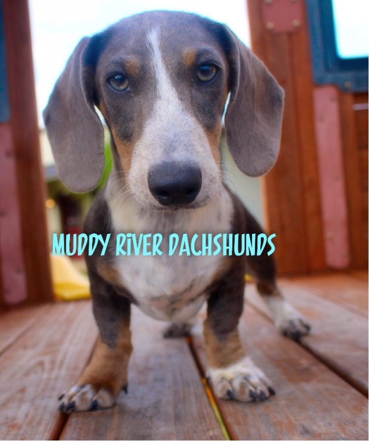 Blue doxie puppies for sale near San Antonio and Houston | Miniature