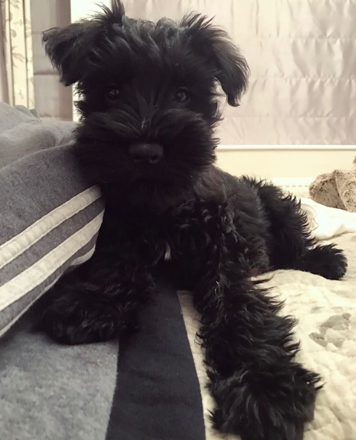 Pin By Gina Edwards On Cutie Patooties Schnoodle Puppy