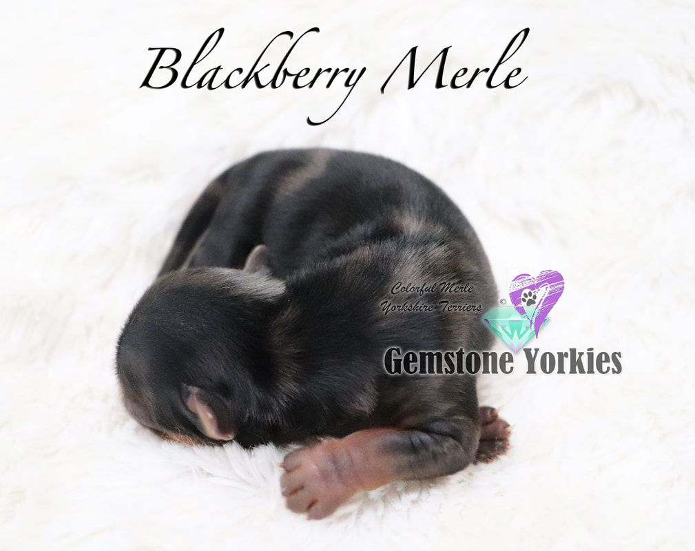 Yorkie Puppies Sale Teacup Yorkies Parti Chocolate Golden Yorkshire Terriers Safe Dog Toys Yorkshire Terrier Yorkie Puppy