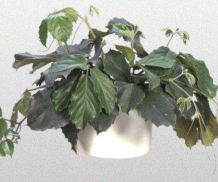 Комнатное растение тетрастигма: фото цветка, уход в ...
