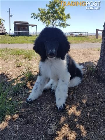 Reduced Price Standard Parti Poodle Puppies For Sale In Mansfield