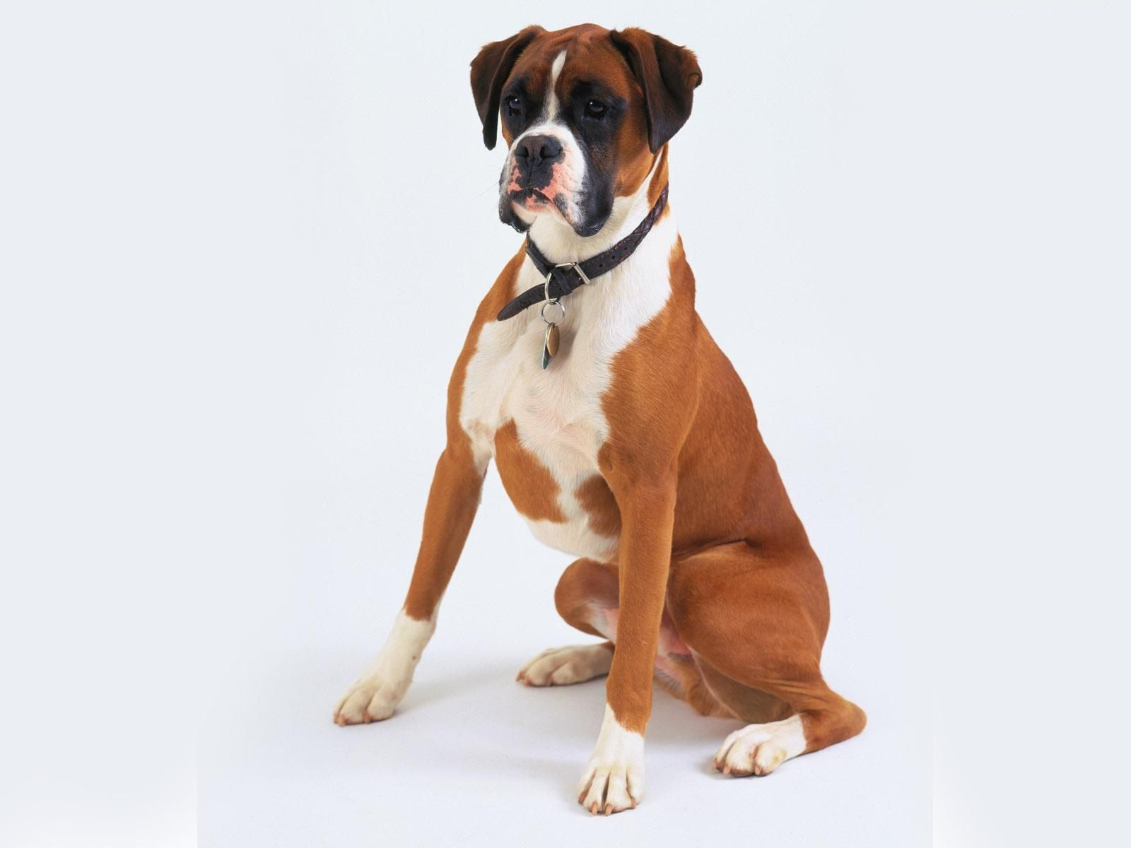 A Boxer Is A Breed Of Stocky Medium Sized Short Haired Dogs Bred In Germany Their Coat Is Smooth And Tight Fitting Boxer Dogs Boxer Puppies Loyal Dog Breeds