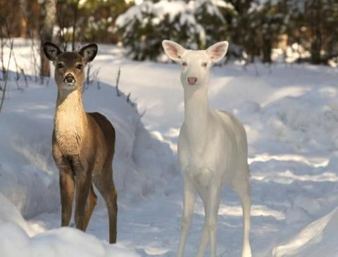 Albino whitetail deer