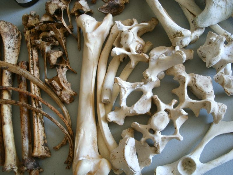Seal and white-tail deer bones | Draw! | Pinterest