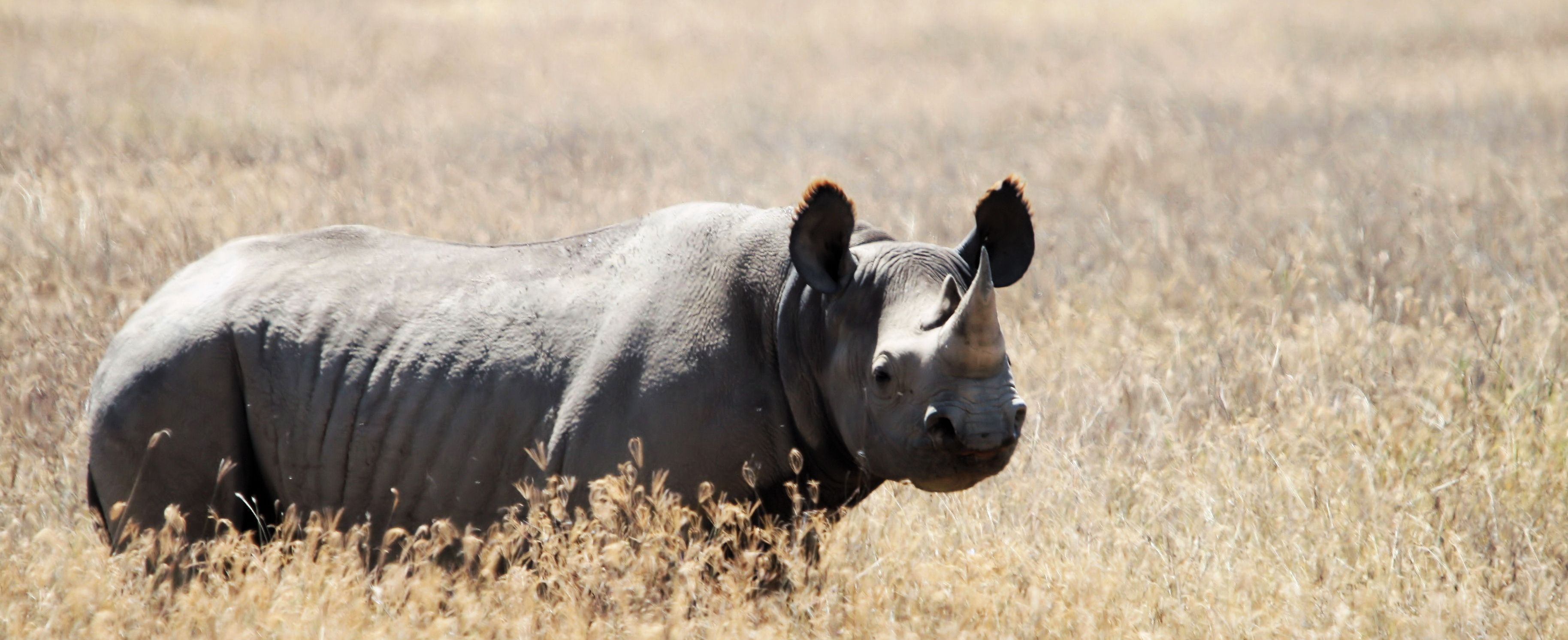 the dying specie of the black rhinoceros View the complete list of foreign species listed as endangered or threatened under the esa learn more about the listing process.