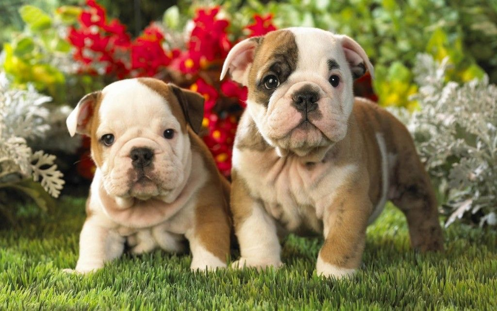 Bulldog Puppies Picture Posing With Flowers Wallpaper Bulldog Puppies Cute Bulldog Puppies English Bulldog Puppies