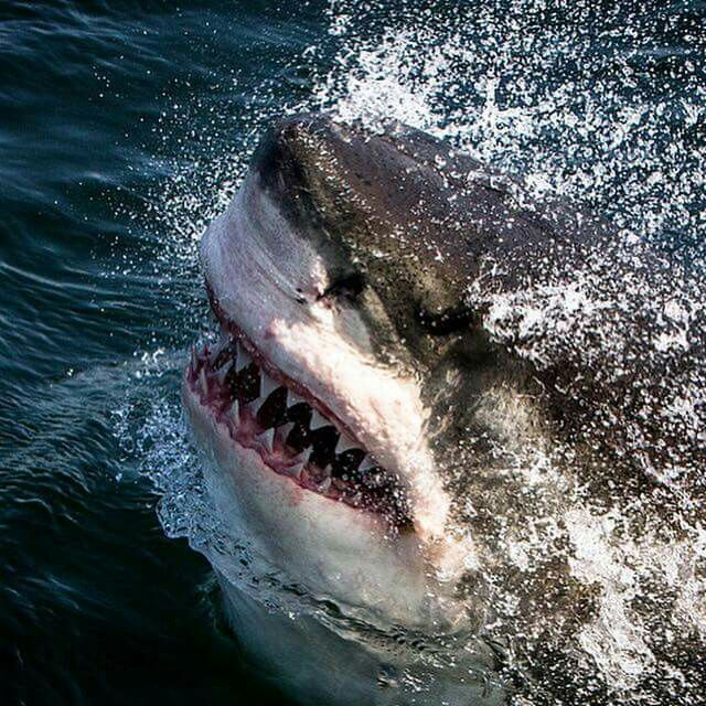 Pictures Image By Gail Yarger Great White Shark Shark Pictures White Sharks
