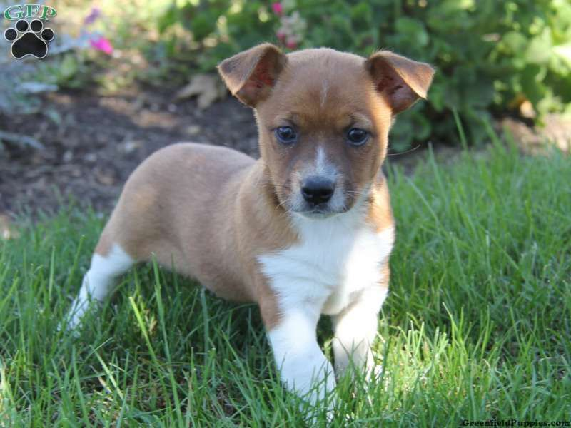 Chihuahua Jack Russell Mix Puppies For Sale Jack Russell Mix