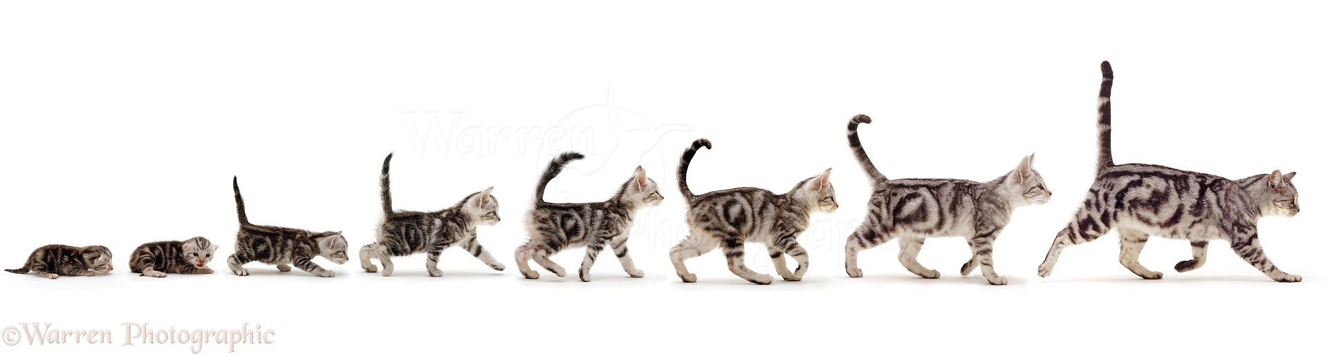 Http Www Warrenphotographic Co Uk 42493 Silver Tabby Cat Growing Up Sequence Stages Silver Tabby Cat Tabby Cat Tabby